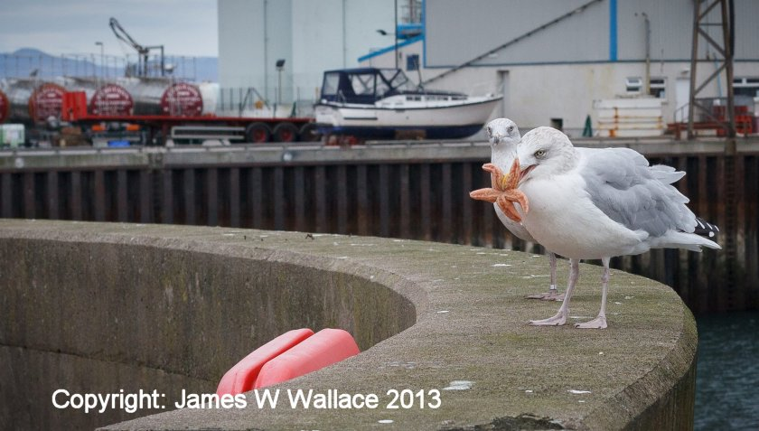 Seagull version of Star Wars played out at Mallaig Harbour 18 October 2013